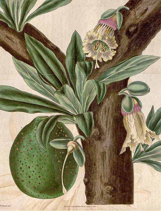 Botanical drawing of Crescentia cujete branch, leaves, flowers and gourd, published in 1835 in Curtis's Botanical Magazine